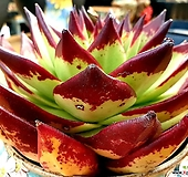 환엽 원종에보니슈퍼클론(미국수입 자구번식 첫번째사진 동일품종) 큰아이 순으로 랜덤발송|Echeveria Superclone