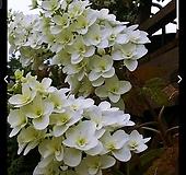 떡갈잎수국(겹) Hydrangea macrophylla
