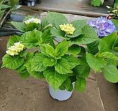 수국중대품 Hydrangea macrophylla