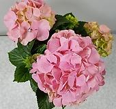 수국(핑크) Hydrangea macrophylla