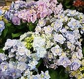 삼색수국/치크시노카재 Hydrangea macrophylla