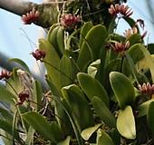 벌보 sp하이브리드 교배종.토분걸이.꽃이 인디안 추장깃털모양 특이합니다.인기상품.벌브동그란모양.인테리어효과.상태굿.|