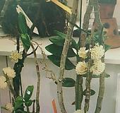 덴드로비움 퍼푸리움 알바.원종.석곡.토분사이즈아주좋은상품.꽃이 특이하고 꽃색상 흰색 예뻐요~.인기상품.상태굿.꽃대.귀한난.|