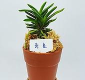 소엽풍란 원효 단엽종 두엽 부귀란|