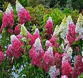 프레이즈 멜바수국 Hydrangea macrophylla