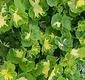 유럽제라늄 Geranium/Pelargonium