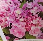 수국/신상품 Hydrangea macrophylla
