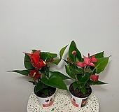 안시리움 안시륨 안스리움 레드/핑크|Anthurium andraeaeanum