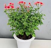 제라늄 아이스캔디- 대품 Geranium/Pelargonium