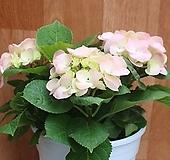 분홍수국(대품) Hydrangea macrophylla