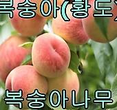 황도접1년특묘2그루/복숭아/묘목/나무묘목/유실수/철쭉 