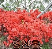 철쭉(영산홍)개화주5그루/철쭉/묘목/나무/울타리/화단/꽃나무 