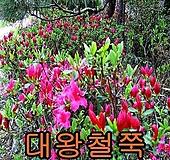 대왕철쭉개화주5그루/철쭉/묘목/울타리/조경/나무/꽃 