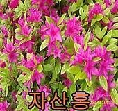 자산홍개화주5그루/철쭉/묘목/나무/유실수/꽃/조경수 