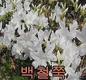 백철쭉개화주5그루/베니/나무/묘목/관목/조경수/꽃나무 