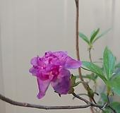 (단품)산철쭉 분홍겹꽃 수입활착품 