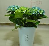 수국3번-내한성이강한 수국-전국노지월동-동일품배송 Hydrangea macrophylla