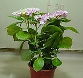 수국4번-내한성이강한 수국-전국노지월동-동일품배송 Hydrangea macrophylla