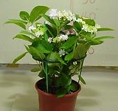 수국6번-내한성이강한 수국-전국노지월동-동일품배송 Hydrangea macrophylla