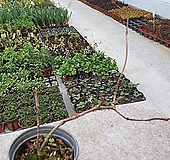 분홍바위수국 Hydrangea macrophylla