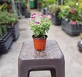 랜디제라늄 작고귀여운꽃 29 Geranium/Pelargonium
