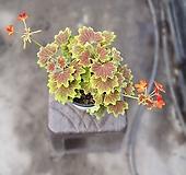 벤쿠버제라늄 향과 꽃을 동시에 65 Geranium/Pelargonium