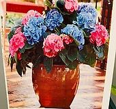 L.A 드리밍수국 / 한나무에서 두가지 컬러의 꽃을 피우는 귀한 수국 Hydrangea macrophylla