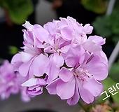 그린아이즈(제라늄) Geranium/Pelargonium