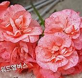 사진착오 Geranium/Pelargonium