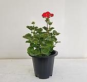 제라늄/공기정화식물/반려식물/온누리 꽃농원 Geranium/Pelargonium