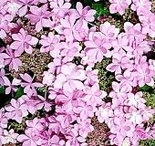 이쁘다 이쁘다 엄청 이쁘다 댄스파티수국 별수국 Hydrangea macrophylla