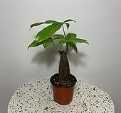 파키라 기본형 미세먼지정화식물 
