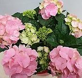 예쁜핑크색수국 Hydrangea macrophylla