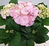 핑크색수국 Hydrangea macrophylla