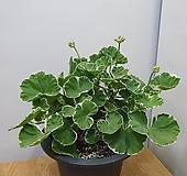 유럽제라늄 화이트링/ 연핑크색|Geranium/Pelargonium