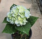 수국 12센치 Hydrangea macrophylla