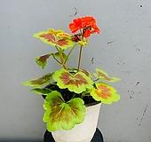 오콜드쉘드제라늄 |Geranium/Pelargonium