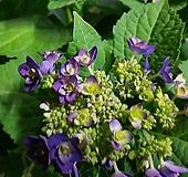수국/후미코/보라/신상품 Hydrangea macrophylla