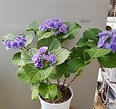 수국/은하/신상품 Hydrangea macrophylla