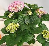 핑크색 수국 Hydrangea macrophylla