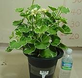 화이트링제라늄12번-유럽제랴늄-식물인기도 1위-동일품배송|Geranium/Pelargonium