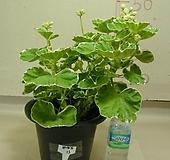 화이트링제라늄13번-유럽제랴늄-식물인기도 1위-동일품배송|Geranium/Pelargonium