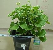 화이트링제라늄14번-유럽제랴늄-식물인기도 1위-동일품배송|Geranium/Pelargonium
