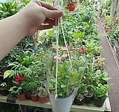 디시디아(공중식물 걸이식물)한정판매 
