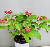 산수국 / 동일품배송 Hydrangea macrophylla