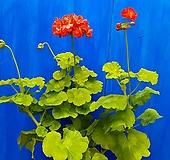 골드애니버셔리ㅡ제라늄|Geranium/Pelargonium
