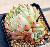 미니마*자라고사(중) 38-69|Echeveria mexensis Zaragosa