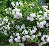 조경수 불두화(백당수국)  4치 포트 Hydrangea macrophylla