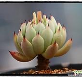 원종자라고사|Echeveria mexensis Zaragosa