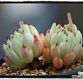 원종자라고사 군생(자연,목대)|Echeveria mexensis Zaragosa